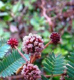 Acacia concinna flower