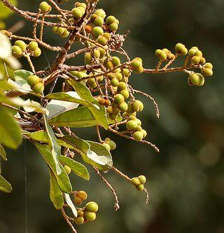 soapnut-reetha-fruit-saba-botanical