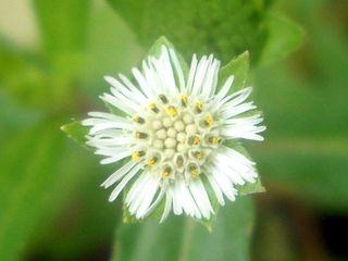 Eclipta-alba-bhringraj-saba-botanical