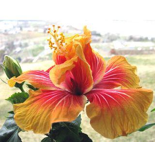 Hibiscus Rosa-sinensis-Saba-Botanical