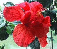 Hibiscus Beauty.