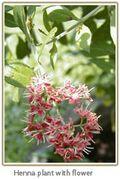 Henna-plant-with-flower. www.sababotanical.com