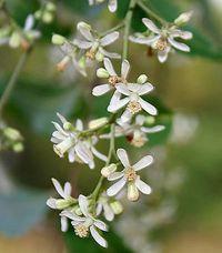 Neem_Azadirachta_indica-www.SabaBotanical.com