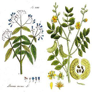 Henna Plant_Cassia Senna Obovata