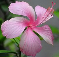 Hibiscus Rosa-Sinensis Pink