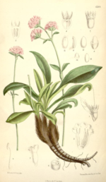 Flower Power for Your Hair: Jatamansi,(Indian Spikenard)