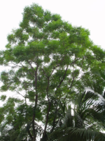 The Neem Tree (Azadirachta indica) for Hair –a Gift from Nature –by L.J. O'Neal, writer.