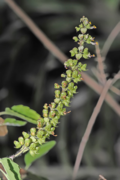 """Tulsi, a Natural Skin Treatment"" –by L.J. O'Neal, writer"