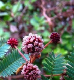Shikakai for Hair Growth, an Ancient Secret from Trees –Recipes, by L.J.O'Neal, writer.