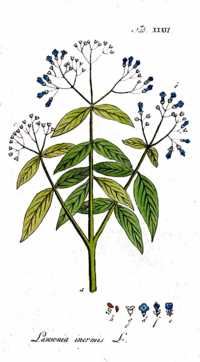 Lawsonia Inermis -Henna from Plant to Hair Dye by L.J. O'Neal, writer.
